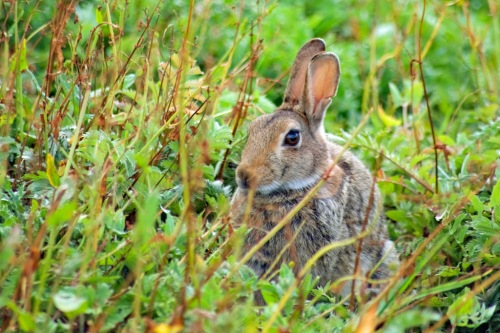 Wild Rabbit on Inner Farne