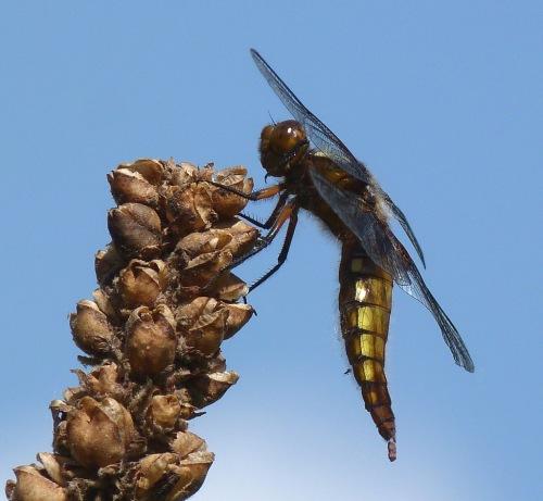 Dragonfly on Mulein